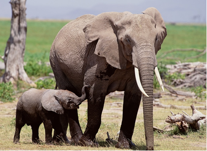 File:African Elephant.png