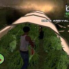 The Truth's marijuana crop