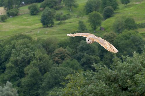 File:Tyto alba 2 Luc Viatour.jpg