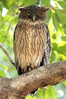 File:Owl Gahoole.jpg