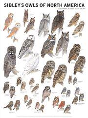 Sibley owls