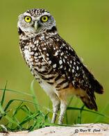 Burrowing.owl.c03.06.2006.JZ3F8972.c-700