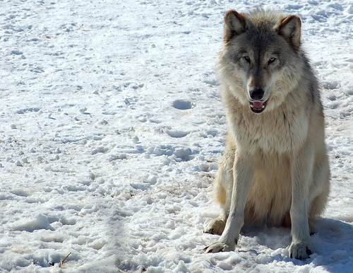 File:Gray Wolf (Canis lupus).jpg