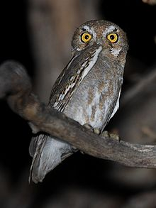 File:Elf Owl.jpg