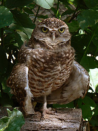 File:Burrowing Owl.jpg