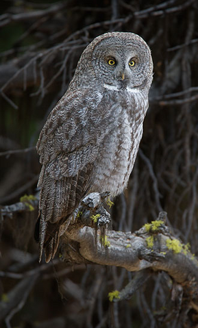 File:Great Gray Owl.png