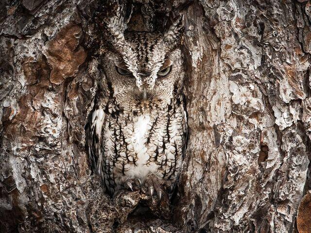 File:Eastern-screech-owl-georgia 67926 990x742.jpg