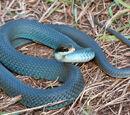 Kielian Snakes