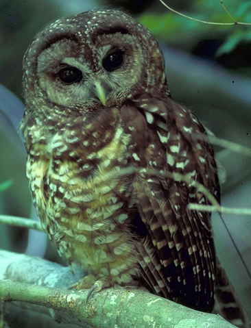 File:Spotted Owl.png