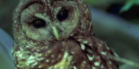 Spotted Owl