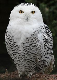 File:220px-Snowy Owl - Schnee-Eule.jpg