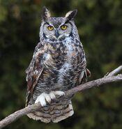 Great horned owl 0553
