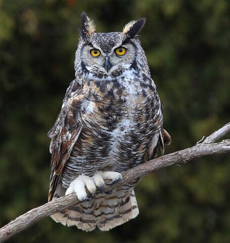 File:Great horned owl 0553.JPG
