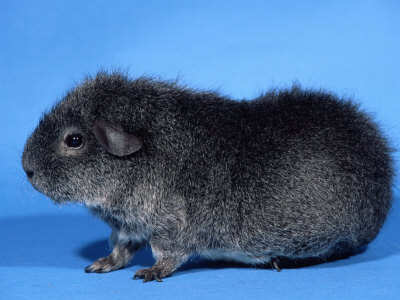 File:Guinea pig.jpg
