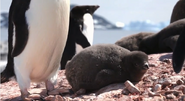 Adelie Penguin chick laying down on the rocks