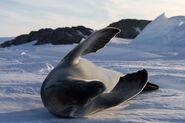 Phoque crabier - Crabeater Seal