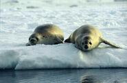 Crabeater Seals (js)