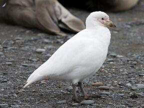 Chionis blanc - Pale-faced Sheathbill