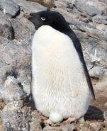 Manchot Adelie - Adelie Penguin