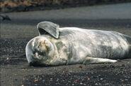 Antarctic,Weddell seal-puppy (js) 44