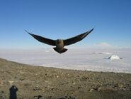 Skua antarctica uscg04