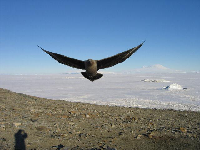 File:Skua antarctica uscg04.jpg