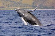 Humpback whale noaa