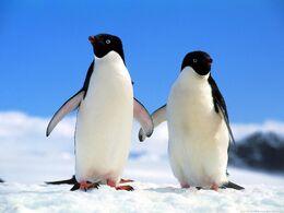 Companions adelie penguins