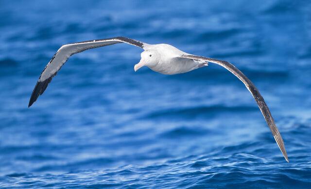 File:Diomedea exulans in flight - SE Tasmania.jpg