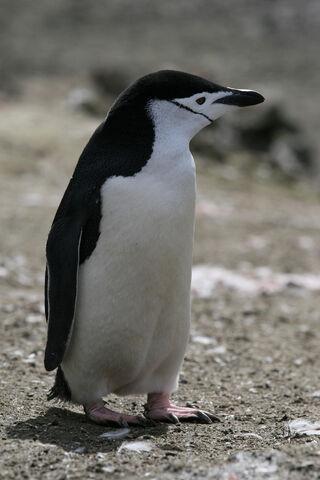 File:Chinstrap Penguin.jpg