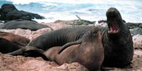Elephant Seal/Gallery
