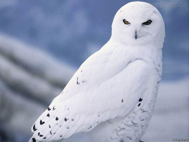 File:Irene's-owl.jpg