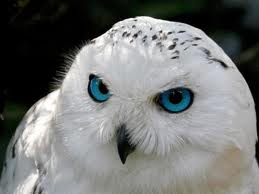 File:Whiteowl1 420x315.288144559 std.jpg