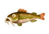 Red-Tailed Catfish