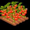 Tomato Stage 4