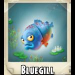 Bluegill Photo