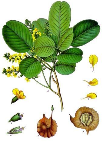 Archivo:Pterocarpus santalinus.jpg