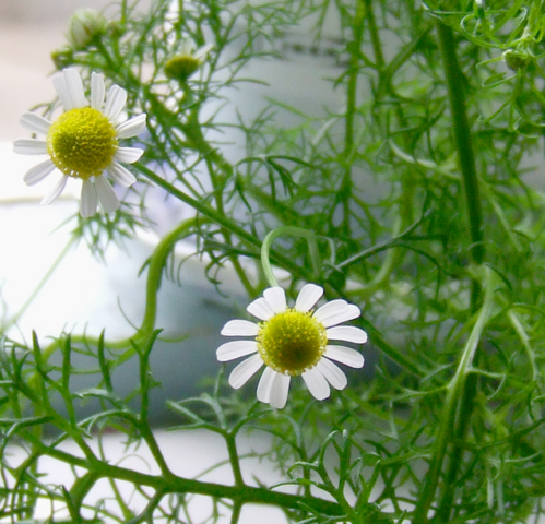 Archivo:Chamomile Flowers 2.png
