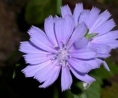 Flor de Achicoria (Cichorium intybus L.)Patrick J. Alexander @ USDA-NRCS PLANTS Database