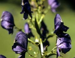 AcónitoR.A. Howard @ USDA-NRCS PLANTS Database