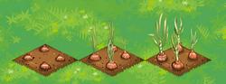Farm-Onions 123