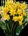 HO FrostC Daffodils-icon