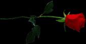 File:HO CBSNewsroom Single Rose-icon.png