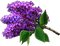 HO BriggsRoseGarden Lilacs-icon