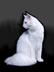 Maine-coon-fabulous-white