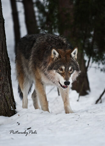 Archivo:A young grey wolf by picturebypali-d3hcag2.jpg