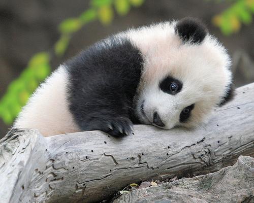 File:Babypanda.jpg