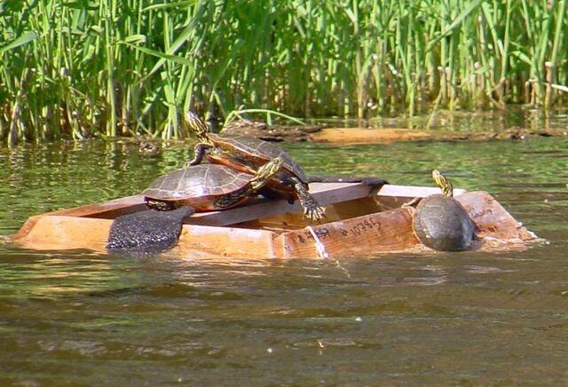 File:Turtles on trap1.jpg