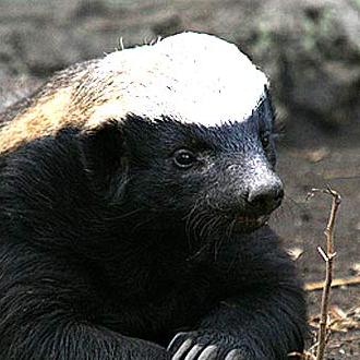 File:Honey badger.png
