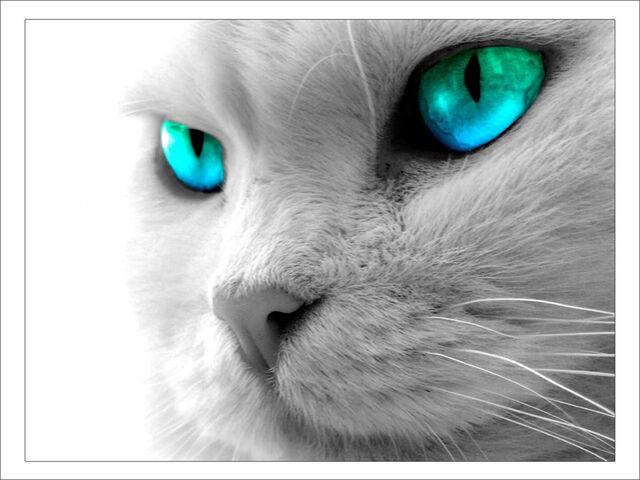 File:Cat-blue-eyes.jpg